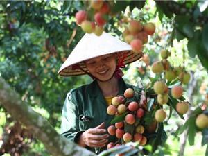 Công đoạn chăm sóc cây vải thiều Thanh Hà