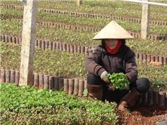 Đắk Lắk: Giá cây cà phê, sầu riêng giống tăng mạnh