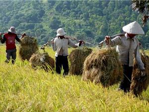 """Những đặc tính """"độc, lạ"""" của lúa nàng Nhen thơm Bảy Núi"""