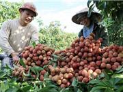 Hướng dẫn cách nhân giống và trồng vải thiều Thanh Hà