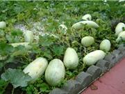 Kỹ thuật trồng và chăm sóc dưa gang trên sân thượng