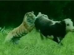 """Clip: """"Khiếp vía"""" với cảnh hổ dữ săn trộm bò sữa"""