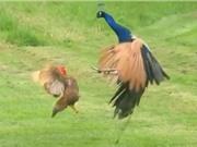 Clip: Màn đá nhau siêu kịch tính giữa gà và công