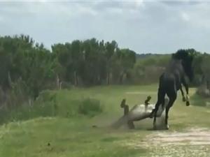"""Clip: Ngựa đực nhận """"cái kết"""" khó tin khi liều lĩnh đá cá sấu"""