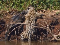 Clip: Những pha săn mồi tàn khốc nhất năm của các loài mèo lớn