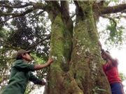 """Kho báu vật """"cây nhà trời"""" trăm tuổi trên núi Ngọc Linh"""