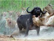 """""""Rợn người"""" với cảnh sư tử bị trâu rừng húc xuyên bụng"""