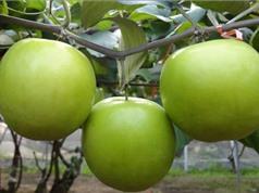 Hướng dẫn trồng và chăm sóc táo ta cho quả sai trĩu