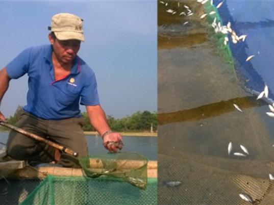 Quảng Nam: Cá nuôi lồng bè chết hàng loạt