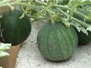 Kỹ thuật trồng dưa hấu cho quả to, vị ngọt lịm tại nhà