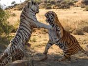 Clip: Top 10 màn ác đấu kinh hoàng trong thế giới động vật