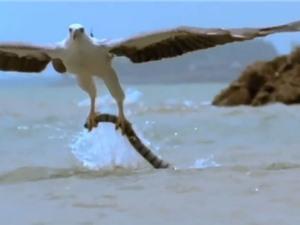 """Clip: Đại bàng bắt """"sát thủ máu lạnh"""" của đại dương về nuôi con"""