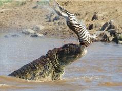 Clip: Những pha giết chóc đáng sợ của loài cá sấu sông Nile