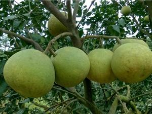 Hướng dẫn trồng bưởi trong chậu cảnh cho quả sai, mọng nước