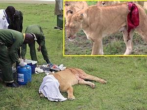 Clip: Liều mạng chữa thương cho sư tử