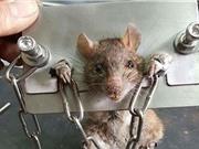 Chuột mang gông sắt như phạm nhân Trung Cổ gây sốt mạng