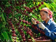 Quá trình hình thành và phát triển cà phê Buôn Ma Thuột