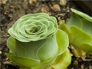 """CỰC ĐỘC: Thực vật có thể """"giả dạng"""" hoa hồng tuyệt đẹp"""