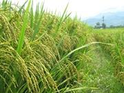 Ảnh hưởng của điều kiện địa hình và địa mạo tới gạo Điện Biên