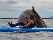 """Clip: Cá voi sát thủ khổng lồ đè """"bẹp dí"""" cả người lẫn thuyền"""