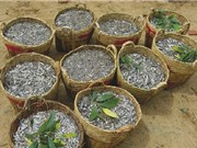 Công đoạn chuẩn bị nguyên liệu sản xuất nước mắm Phan Thiết
