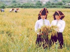 Nguồn gốc, đặc điểm nhận dạng gạo của Điện Biên