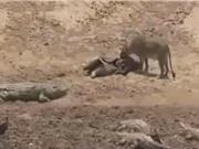 Clip: Sư tử cái cả gan cướp mồi của cá sấu