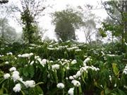 Kỹ thuật trồng và chăm sóc cà phê Buôn Ma Thuột