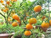Phương pháp trồng và chăm sóc cây quýt tại nhà cho quả sai trĩu, vị ngọt lịm