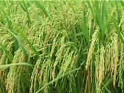Ảnh hưởng của điều kiện đất đai tới gạo Điện Biên