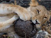 """Clip: Sư tử """"méo mặt"""" trước khả năng phòng thủ của tê tê"""