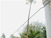Ngỡ ngàng cây đu đủ cao gần 10m, cho hàng ngàn trái
