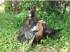 Clip: Cuộc chiến sinh tử giữa ngan với gà mái
