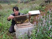 Ảnh hưởng của yếu tố tự nhiên tới chất lượng mật ong bạc hà Mèo Vạc