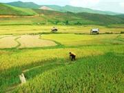 Kỹ thuật thuật trồng, chăm sóc và thu hoạch gạo Điện Biên