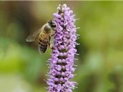 Giống ong tạo nên sản phẩm mật ong bạc hà Mèo Vạc