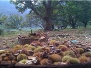 Hạt dẻ Trùng Khánh đặc biệt nhờ vào yếu tố sông ngòi