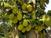 Phương pháp trồng và chăm sóc cây mít cho quả sai trĩu quanh năm