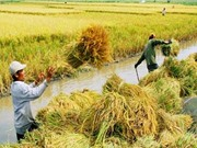 Những yếu tố nên danh tiếng cho gạo Một bụi đỏ Hồng Dân