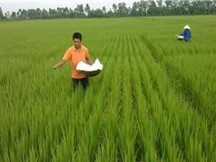 Công đoạn cấy và chăm sóc lúa Tám xoan Hải Hậu