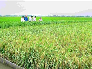 Nguồn gốc, xuất xứ gạo Một Bụi Đỏ Hồng Dân