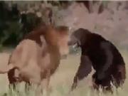 Clip: Màn giao chiến kịch tính giữa sư tử đực với gấu