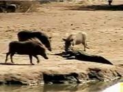 """Clip: Heo rừng suýt mất mạng vì """"trêu ngươi"""" cá sấu sông Nile"""