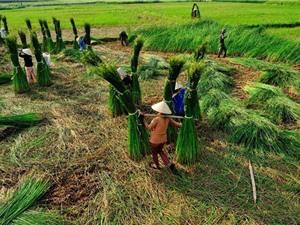 Vì sao Nga Sơn lại thích hợp cho cây cói sinh trưởng và phát triển?