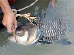 Cá hô khủng lại dính lưới ngư dân may mắn nhất sông Đồng Nai