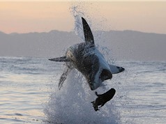 Clip: Cận cảnh pha bay người lên không đớp hải cẩu của cá mập trắng