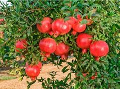 Quy trình trồng và chăm sóc cây lựu cho quả sai, to