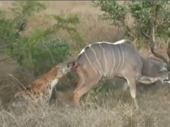 Clip: Linh dương vằn Kudu chết thảm trước nanh vuốt linh cẩu