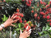 Cách trồng, chăm sóc, thu hoạch, bảo quản chôm chôm Long Khánh
