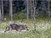 Đàn sói đầu tiên xuất hiện tại Đan Mạch sau 200 năm